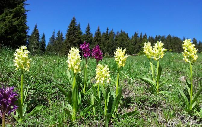 Orchids in Western Rhodope Mnts