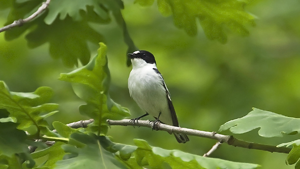 Semi-collared flycatcher by Colin Bradshaw