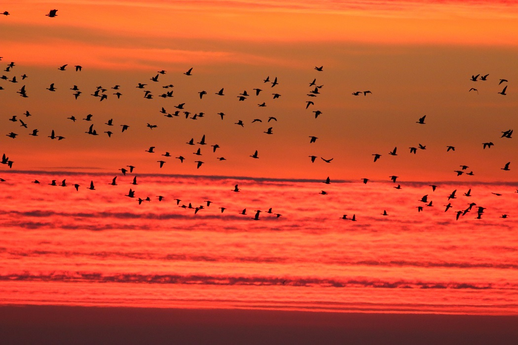 Wild geese_sunrise_Durankulak Lake