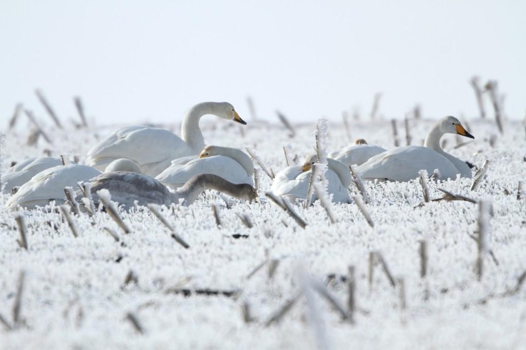 Пойни лебеди, фото: Младен Василев