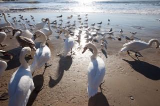 Лебедите на Офицерския плаж,  фото: Павел Господинов