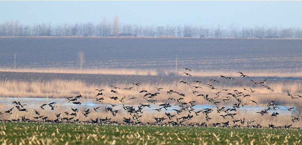 rbgeese_in-a-cereal-field-by-durankulak-lake