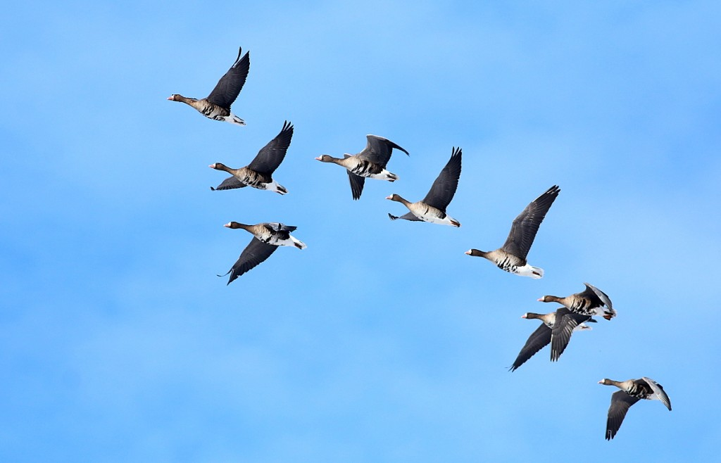 greater-white-fronted-geese_resized