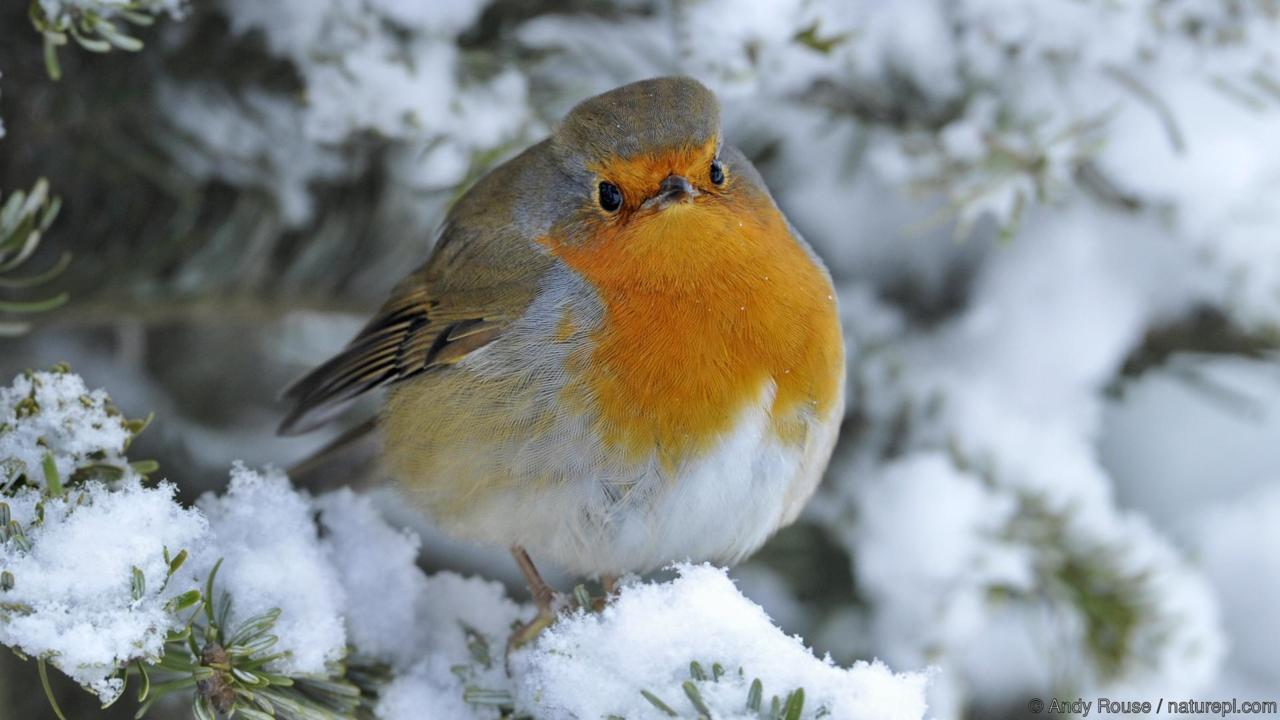 European Robin (Erithacus rubecula) perched in snow, Wales, UK, January
