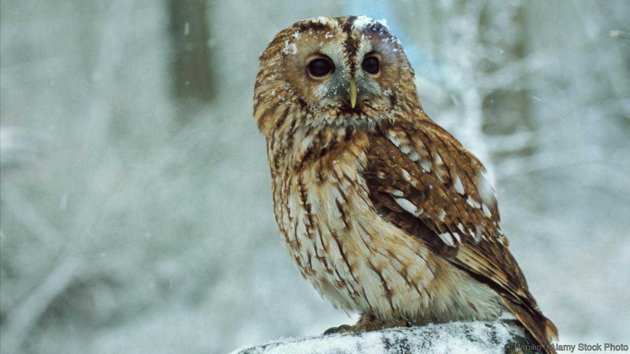 AN0K5K Tawny Owl Strix aluco UK