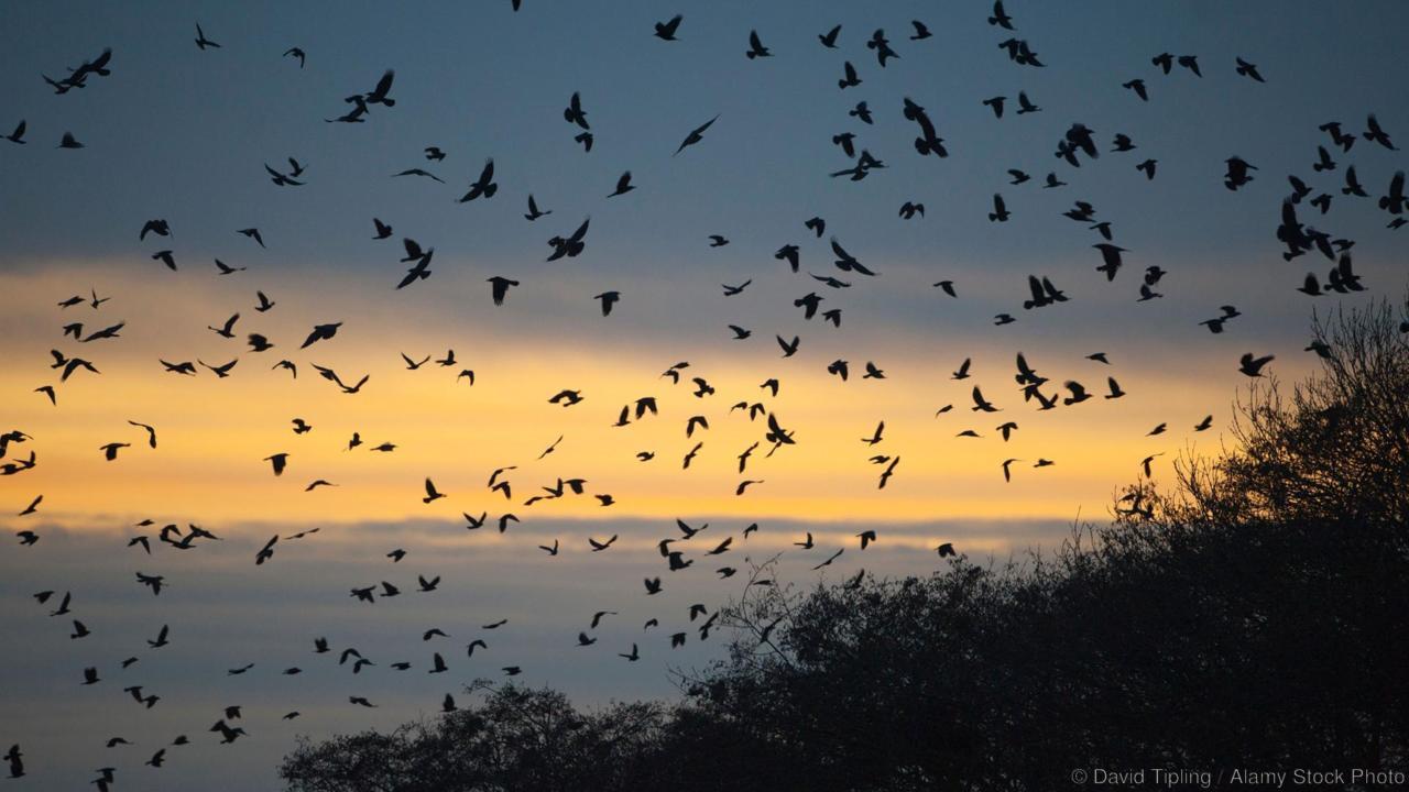 BRM1X1 Rooks Corvus frugilegus arriving at roost at Buckenham Norfolk winter