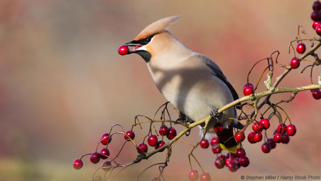 BX83R4 Waxwing with Berry